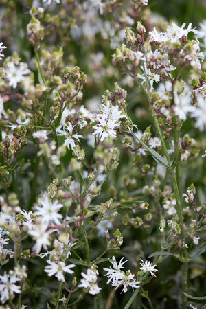 Lychnis flos cuculi, ragged robin plant with white flowers