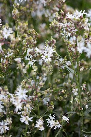 ragged robin: Lychnis flos cuculi, ragged robin plant with white flowers