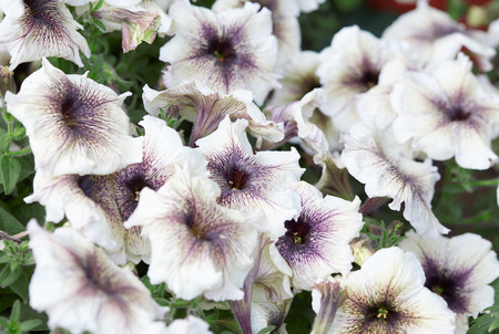 veining: White petunia flowers with purple veining background