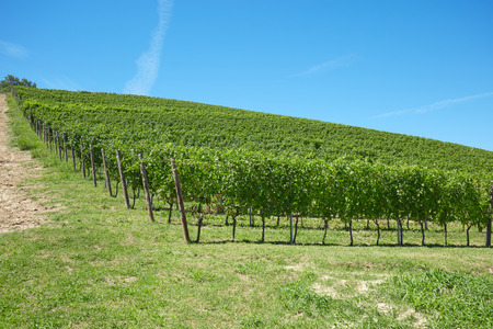Green vineyards hill in a sunny day, blue sky Stock Photo