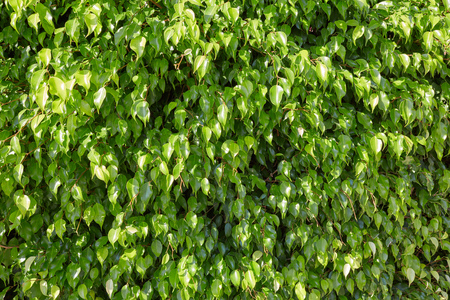 Fresh green leaves texture background in a sunny day Imagens