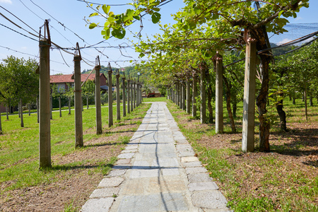Kiwi and apple orchard and stone tiled path in a sunny summer day, perspective Imagens