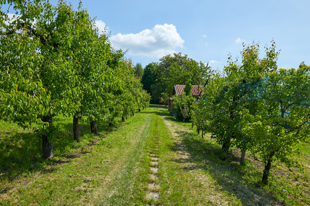 Path in the grass and pear trees in a sunny summer day, Italy Imagens
