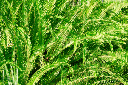 Green fern leaves texture background in sunlight