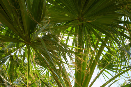 Palm tree leaves background in a sunny summer day