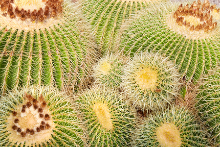 Echinacactus grusonii, succulent plants with yellow thorns texture background
