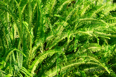 Green fern leaves texture background in a sunny summer day