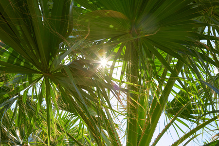Palm tree leaves and sun beams in a sunny summer day