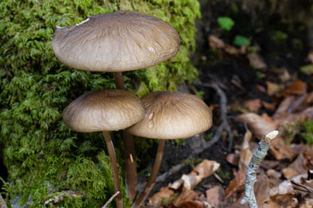 Brown mushroom close up coming out among the leaves, moss and branches in the mountains among the trees