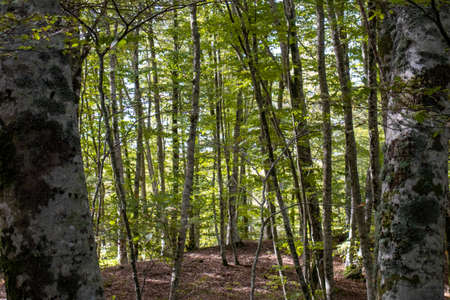 tall green european beech forest with sky behind.