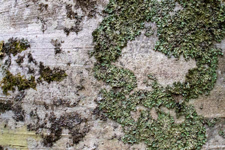 tree bark texture with moss close up.