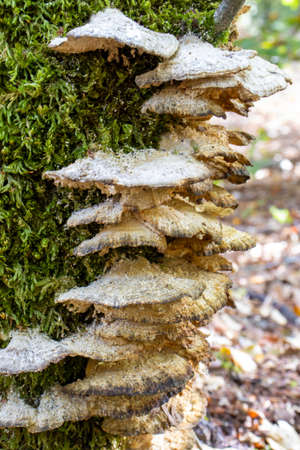 white woody mushroom, mushrooms coming out of a tree trunk in the forest. Standard-Bild