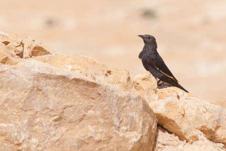 Black Bird on Desert Rocks in Masada Israel Palestine Stock Photo