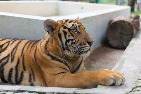 Tropical Orange Striped Tiger Paw in Tiger Temple Thailand North Chang Mai Editorial