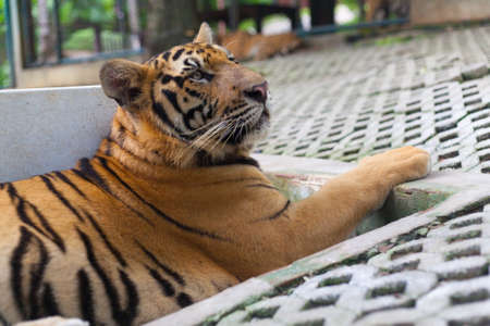 Garden Pet Tropical Orange Striped Tiger Paw in Tiger Temple Thailand North Chang Mai