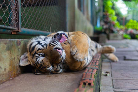 sumatran tiger: Tropical Twisting Orange Striped Tiger Paw in Mouth in Tiger Temple Thailand North Chang Mai