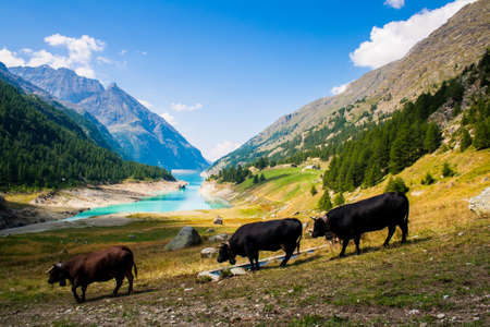 lac: 3 cows on a pasture, Lake in the background