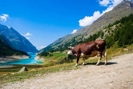 lac: Cow in a pasture with Lake in the background Stock Photo