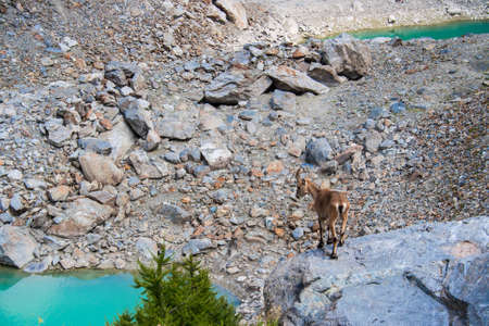veny: Chamois on a rock with lake