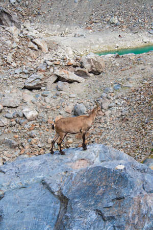 veny: Chamois on a rock Stock Photo
