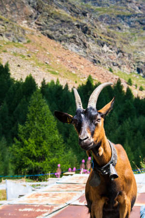 queso de cabra: Cabra verticales
