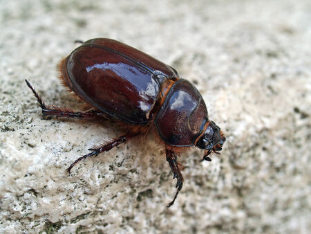 oryctes: Female rhinoceros beetle Oryctes nasicornis Montemerano