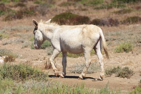 white donkey in asinara island, sardinia, italy Imagens