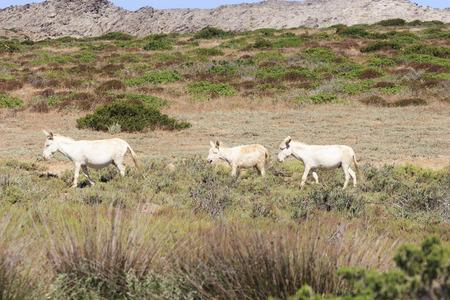 abandonment: white donkeys in asinara island, sardinia, italy