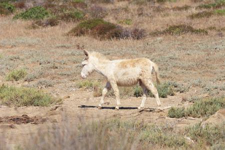 abandonment: white donkey in asinara island, sardinia, italy Stock Photo