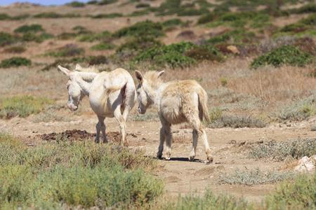 white donkeys in asinara island, sardinia, italy
