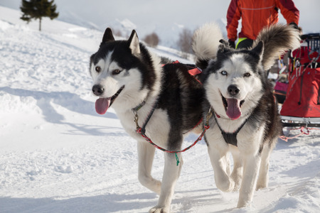 sled dog: Sled dog racing alaskan malamute snow winter competition race Stock Photo