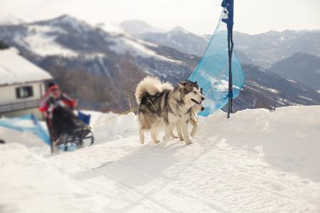 Sled dog racing alaskan malamute snow winter competition race Stock Photo