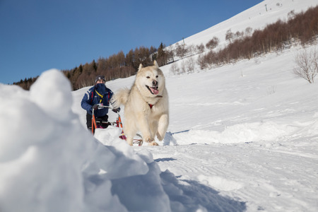 sled dog: Sled dog racing ? alaskan malamute snow winter competition race