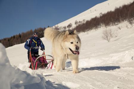 Sled dog racing ? alaskan malamute snow winter competition race