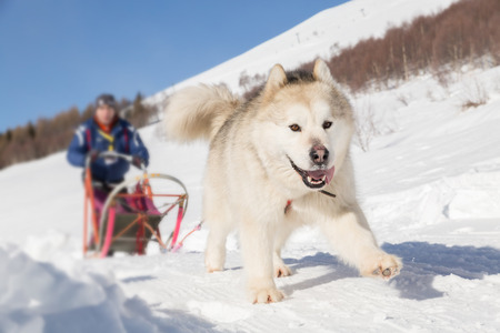 Sled dog racing alaskan malamute snow winter competition race Stock Photo
