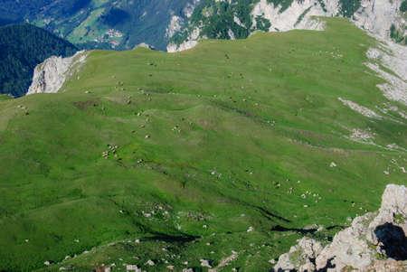 grazing cows: grazing cows in Rosengarten pasture