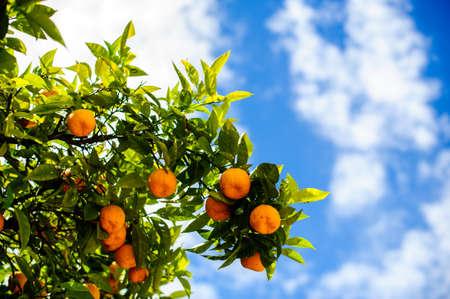 tangerine tree: tangerine tree in blue sky