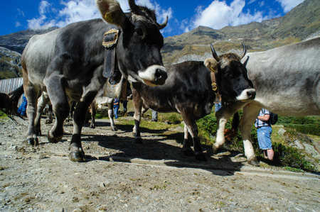 alto adige: return of the cattle in Alto Adige, Italy Stock Photo
