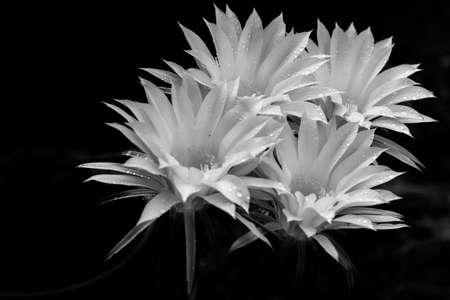 ephemeral: ephemeral flowers of cactus (Coryphantha sp) Stock Photo