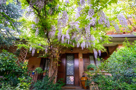 wistaria: garden with wisteria flowers in full bloom