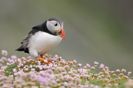 Puffin walking in pink thrift flowerbed  Stock Photo - 13619519