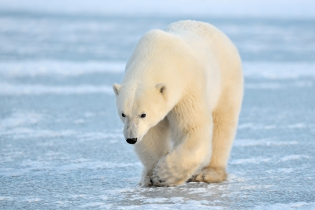 Polar Bear walking on blue ice