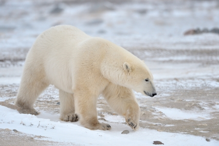 Polar Bear walking in snow  photo