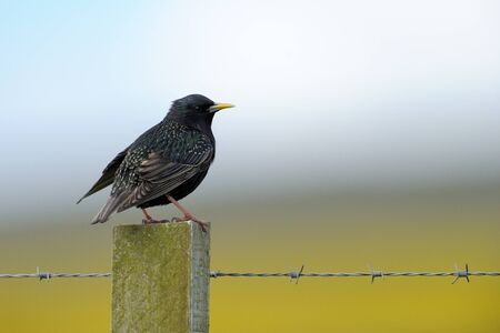 Common Starling on a fence pole  photo