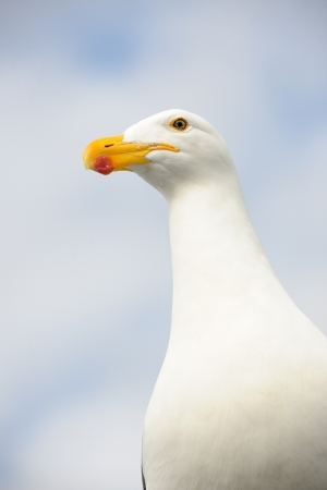 blacked: Portrait of a Kelp Gull  Stock Photo