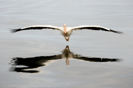 seabirds: Great White Pelican flying  Stock Photo