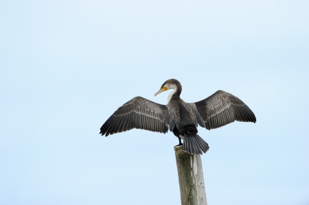 spreaded: Cape Cormorant drying his wings