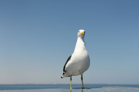 blacked: Kelp Gull standing on rooftop from boat  Stock Photo