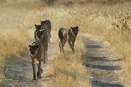 Cheetah s walking on a road Stock Photo - 13863269