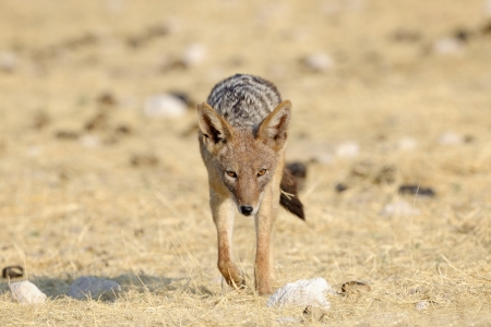 blacked: Blacked Jackal walking straight at you  Stock Photo